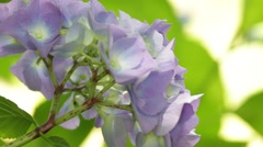 Little hydrangea  flower Stock Footage