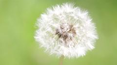 Little dandelion  flower Stock Footage