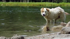 White dog cools into a mountain river and then goes to the one who whistles Stock Footage
