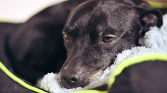 The family dog resting at the home Stock Footage
