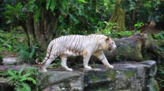 White tiger in zoo - stock footage