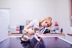 Veterinarian with stethoscope examining cat with sore stomach Stock Photos