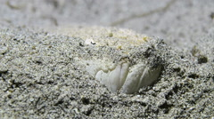 Stargazer Fish Hiding in the Sand Stock Footage