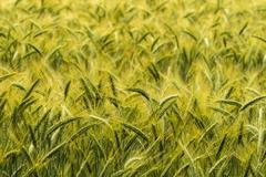 Barley in the field, crop field Stock Photos