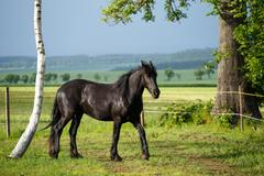Friesian colt in meadow Stock Photos