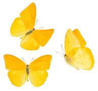 Apricot sulphur butterfly Stock Photos