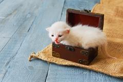 Cute white tiny Kitten in jewel box - stock photo