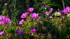 Bloody crane`s Bill, Geranium sanguinem during sunset in sweden Stock Footage