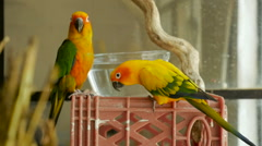 Two conure parrots look at the camera near a glass bowl of water in slow mo Stock Footage
