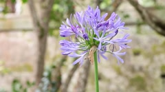 Asessippi Lilac flower in botanical garden, slider shot Stock Footage