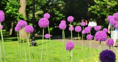 Giant Purple Sensation Flowers in Boston Common  	 Stock Footage