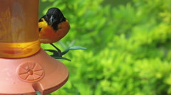 Oriole on Feeder Stock Footage