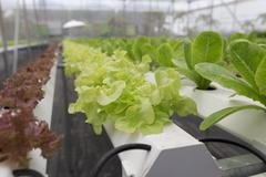 hydroponic lettuce vegetable growing in agriculture farm - stock photo