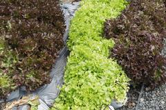 lettuce vegetable with drip irrigation system in farmland - stock photo
