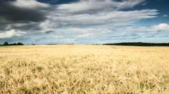 Field of wheat Timelapse Stock Footage