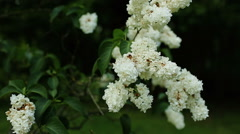 Blossoming branch of a white lilac moved by wind with copy space close-up Stock Footage