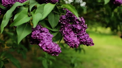 A beautiful bunch of lilac closeup. Lilac Bush Bloom. Lilac flowers in garden. Stock Footage