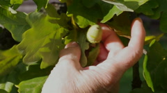 Oak leaves and acorn in senior hand. Arkistovideo