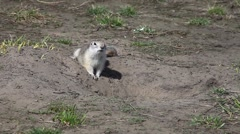 Gopher fluffy runs on the ground Stock Footage