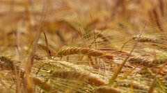 Cultivated triticale crops Stock Footage