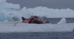Close gulls pick at whale carcass on sea ice Stock Footage