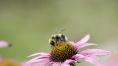The closer look of the bee on the flower bud Stock Footage
