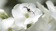 A black spider on the white flower Stock Footage