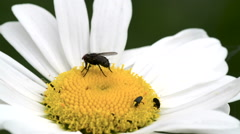 A black bee on the bud of the flower Stock Footage