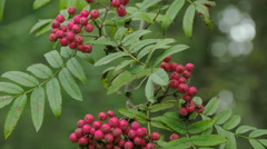 The sorbus fruit in red color Stock Footage