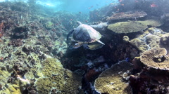 Swimming Hawksbill Turtle Stock Footage