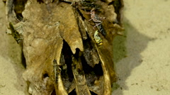 Grasshoppers on the rotten log Stock Footage