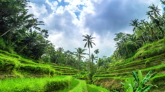 Rice field paddy landscape in Bali Indonesia. Asia farm agriculture background Stock Footage