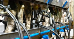 Milking machines milking milk. Dairy farm cows. - stock footage