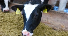 Cow eat food. Dairy farm cows. Stock Footage