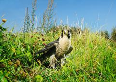 Hawk standing in grassy field - stock photo