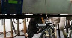 A cow comes to a milking apparatus. Dairy farm cows. - stock footage