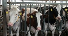 Cows during milking in the milking parlor. Dairy farm cows. Stock Footage