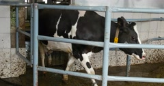 After milking the cows down the corridor back in his section. Dairy farm cows. Stock Footage
