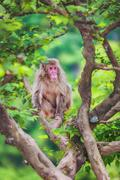 Japanese macaque on the branch, Arashiyama, Kyoto, Japan - stock photo