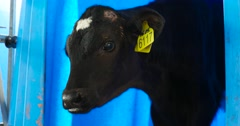 The little black calf. Dairy farm cows. Stock Footage
