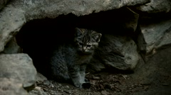 European wild cat kitten looking surprised in front of burrow under rock Stock Footage