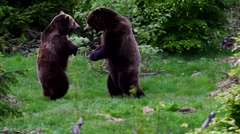 Two brown bears ( Ursus arctos) fighting in coniferous forest Stock Footage