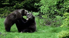 Two brown bears ( Ursus arctos) fighting in coniferous forest - stock footage