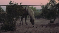 Medium shot of Draft Horse Grazes in a Paddock at Sunset. - stock footage