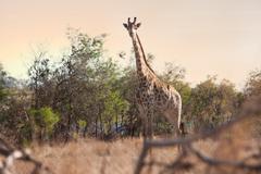 Wild giraffe on safari, Stellenbosch, South Africa Stock Photos