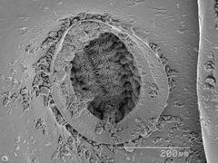Spiracle of a giant mealworm beetle larva (Tenebrionidae) SEM Stock Photos