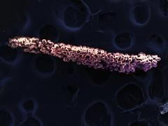 High vacuum SEM image of stamen of Brassica rapa oleifera flower - stock photo