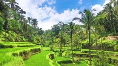Green rice field paddy in Bali Indonesia. Farm agriculture in Ubud countryside Stock Footage