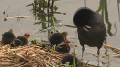 Black coot with hatchlings Stock Footage