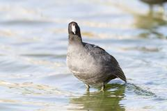 American Coot eye contact standing in shallows Stock Photos